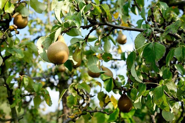 A pear tree