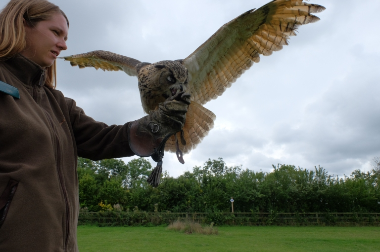 Lenny, Eagle Owl, Falconry, Falconer
