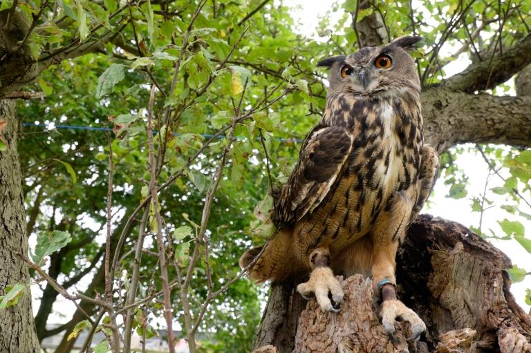 Eagle Owl, Prey of Prey, Tree