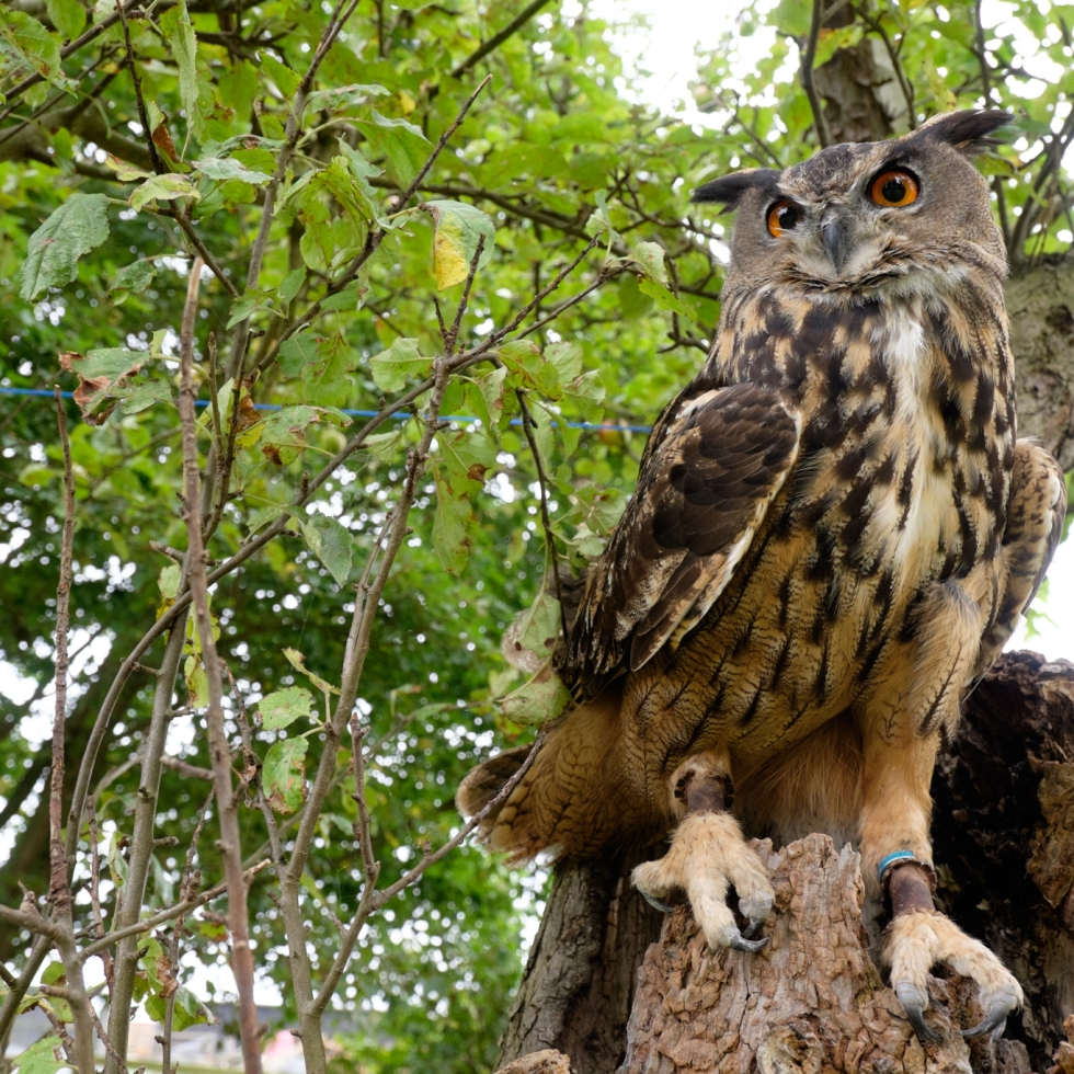 Eagle Owl, Prey of Prey, Tree