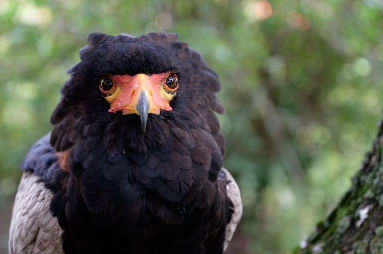 Bateleur Eagle, Bird of Prey