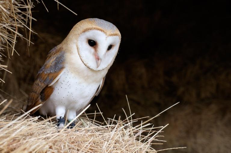 Barn Owl, Barn, Straw